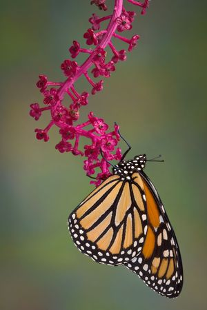 A monarch butterfly is hanging from a branch of pokeweed. The branch had berries that have been eaten by birds.