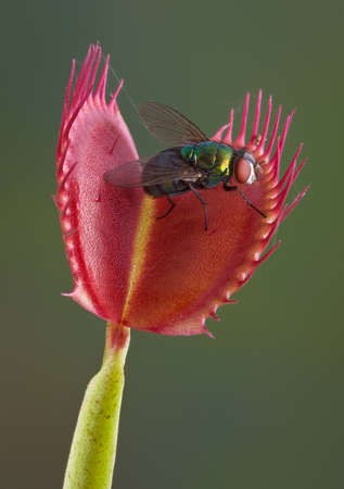 A fly is sitting on an open venus fly trap, just a second away from being trapped and eaten.