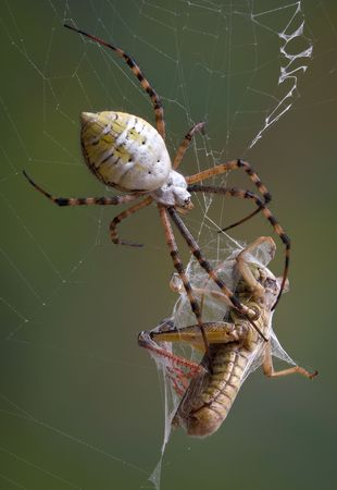 argiope: A banded argiope spider has wrapped up a grasshopper in its web.