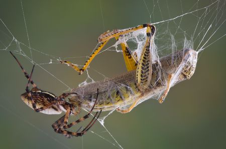 argiope: A female banded argiope spider is biting a hopper caught in her web.