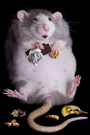 A fat rat named Drucilla is eating candy and cookies. Stock Photo