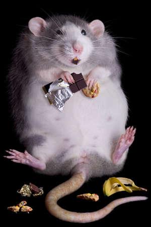 pancia grassa: Un ratto grasso denominato Drucilla � mangiare dolci e biscotti.