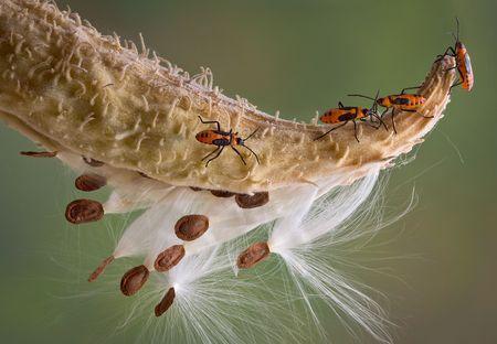Several milkweed bugs are walking across a milkweed pod.