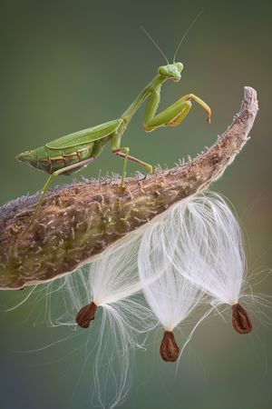 A praying mantis is standing on top of a milkweed pod. Stock Photo - 8091443