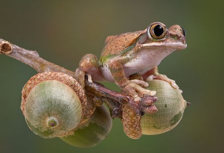 A big-eyed tree frog is sitting on a branch of acorns. Stock Photo