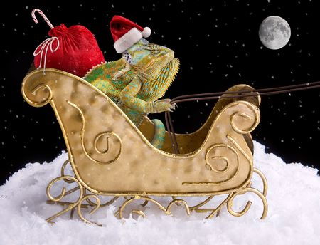 A veiled chameleon is delivering toys for Christmas in a sleigh. Stock Photo