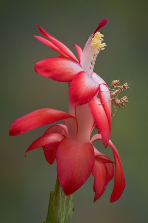 A devil flower mantis nymph is sitting on a cactus flower Stock Photo - 8091447