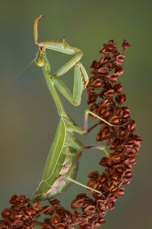 nibbling: An adult mantis is preening by nibbling on its leg. Stock Photo