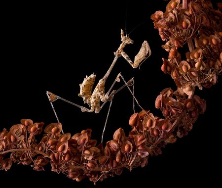 A lichen mantis nymph is sitting on a dried weed. Stock Photo - 8167275