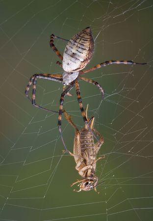 argiope: A banded argiope spider is moving quickly towards a cricket caught in her web.