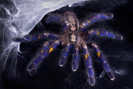 A P. Metallica tarantula is crawling towards the camera.
