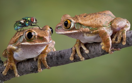 One big-eyed tree frog is looking at a fly that landed on his friend's head. Stock Photo - 8537843
