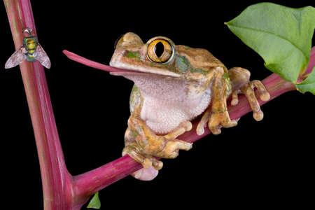 tree frog: A bog-eyed tree frog is trying to catch a fly with his tongue. Stock Photo