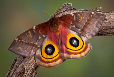 An io moth is sunning itself on a branch.