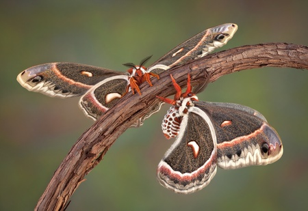 Two cecropia moths are perched on the same vine. Stock Photo - 9960732