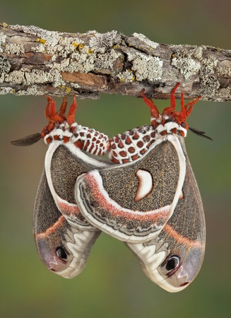 animal mating: Two cecropia moths are mating while hanging from a branch. They can stay together for over 12 hours.