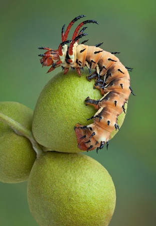 A Hickory Horned Devil caterpillar is crawling on a group of walnuts.