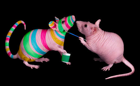 A dwarf hairless rat is painting bright stripes on her friend.