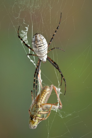 of prey: A female banded argiope spider is moving towards a grasshopper that is caught in her web.