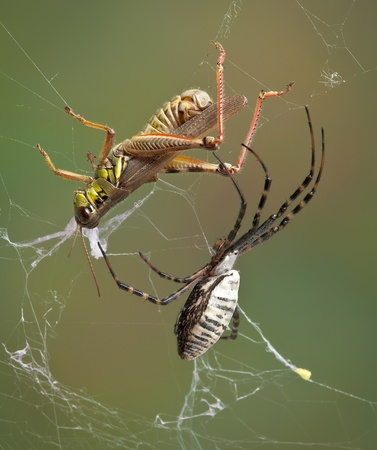 A female banded argiope spider is moving towards a grasshopper that is caught in her web. Stock Photo - 10865293
