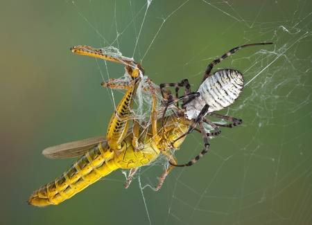 web2: A female banded argiope spider is biting a large grasshopper in the head after wrapping him with silk to subdue him.