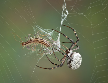 A female banded argiope spider is wrapping a centipede after it became caught in her web.