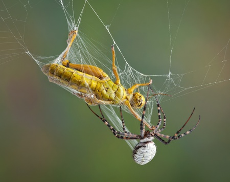 A female banded argiope spider is wrapping up a grasshopper in silk after trapping him in her web. photo