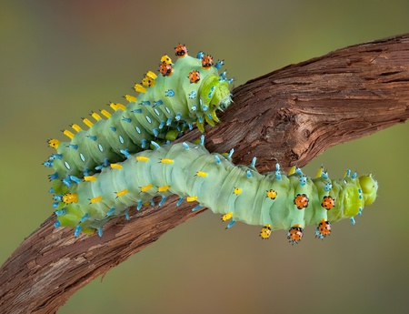 Two cecropia caterpillars are crawling on a vine. Stock Photo - 10865298