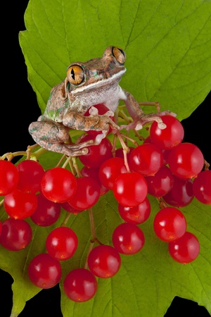 webfoot: A big-eyed tree frog is perched on some red berries.