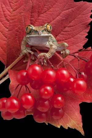 webfoot: A big-eyed tree frog is perched on a plant with red leaves and red berries.