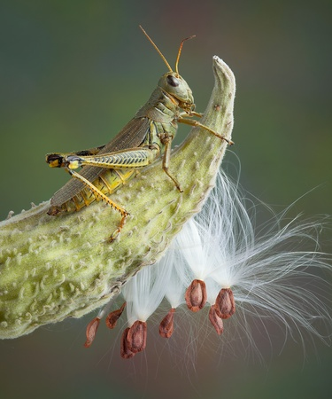 A grasshopper is sitting on top of a milkweed pod in fall. Stock Photo - 11259149