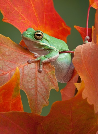webfoot: A green tree frog is resting after climbing on a maple tree in fall.
