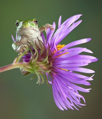 webfoot: A tiny baby grey tree frog is sitting on an aster flower.