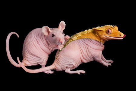 crested gecko: A dwarf hairless rat unzips her friend to reveal a crested gecko underneath. Stock Photo