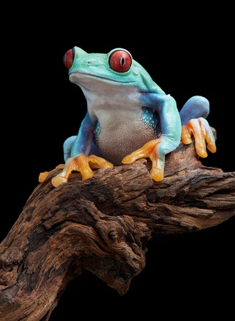 webfoot: A red-eyed tree frog is sitting on a branch.
