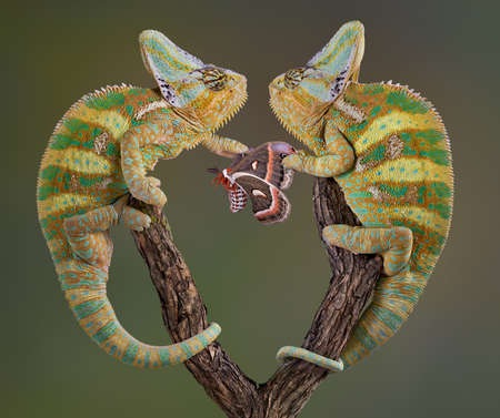 reptiles: Two veiled chameleon brothers and fighting over a cecropia moth. Stock Photo