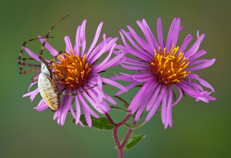 web2: A female banded argiope spider is crawling over some aster flowers.
