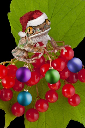 webfoot: A big-eyed tree frog has on his santa hat and is decorating a berry bush with ornaments.