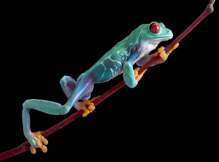 webfoot: A red-eyed tree frog is climbing on a red vine. Stock Photo