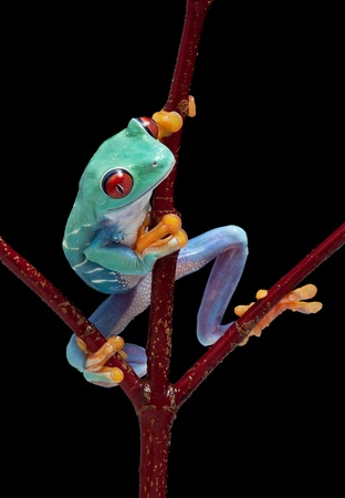 redeyed tree frog: A red-eyed tree frog is climbing on a red vine. Stock Photo