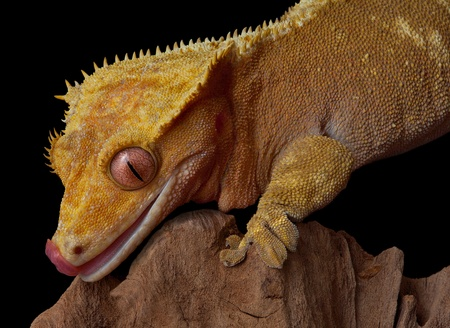 A female crested gecko is licking her lips while climbing on a jagged cliff. Stock Photo
