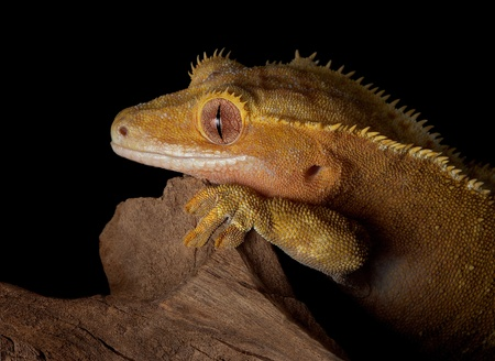 crested gecko: A female crested gecko stares over a jagged cliff at night.