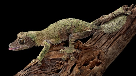 A female mossy leaf-tailed gecko is crawling over a branch. Stock Photo - 11851877