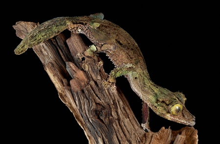 A male mossy leaf-tailed gecko is staring intently while crawling down a branch. Stock Photo - 11851946