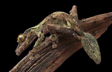 A male mossy leaf-tailed gecko is staring intently while sitting on a vine. Stock Photo - 11851947