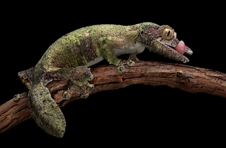 A female mossy leaf-tailed gecko is licking her lips while sitting on a vine. Stock Photo - 11851941