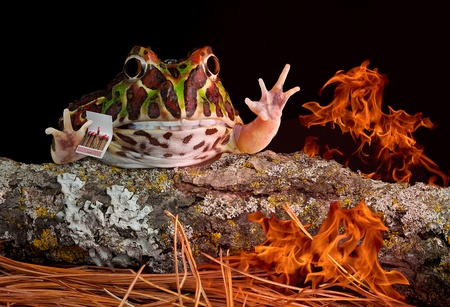 webfoot: An Ornate horned frog is playing with matches and has started a fire in the forest. Stock Photo
