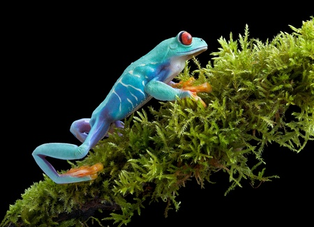 redeyed tree frog: A red-eyed tree frog is crawling on a mossy branch. Stock Photo