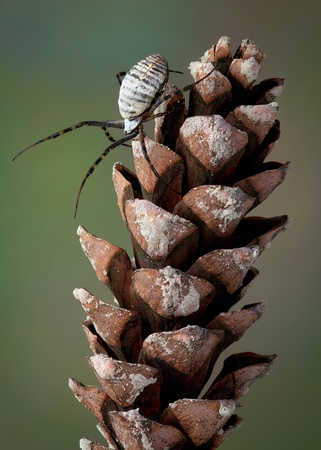 A female argiope spider is climbing on a large pine cone. Stock Photo - 11851945