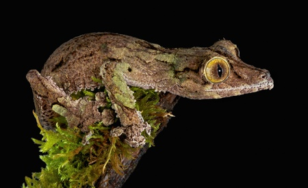 A male mossy leaf-tailed gecko is staring intently while perched on a mossy branch Stock Photo - 11851940